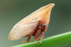 Enchenopa (Membracidae) (Bruno Garcia Alvares) Tags: enchenopa enchenopasp membracideo membracidae membracídeo hemiptera soldadinho treehopper insetos insect insetosbrasileiros insetosdobrasil insetosdaamazônia insetoscoloridos amazoninsects amazinginsect amazônia brazil green bokeh background orange red light mpe65mm canon canon80d diydiffuser mt24ex brunogarciaalvares contrast portrait colors colorido colorfulinsects
