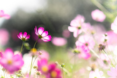 Nostalgia (hitohira_) Tags: flower flowers nature bokeh cosmos