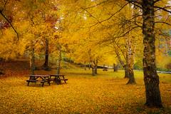 Autumn in yellow (Artur Tomaz Photography) Tags: gouveia serradaestrela autumn yellow leafs trees wood forest park portugal