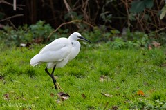 Little Egret (markgosling94) Tags: nikon wildlife nature bird wader little egret