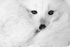 looking in your eyes (Mary Bassani) Tags: animalplanet animallovers white blackwhite closeup eyes articfox volpeartica fox volpe vulpes canonphotographer canonwildlifephotographer churchill manitoba canada naturewildlife naturewildlifephotographer mammal ngc