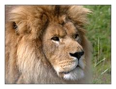 Le roi lion -  The Lion King (diaph76) Tags: extérieur zoo animal france lion portrait crinière mane normandie calvados
