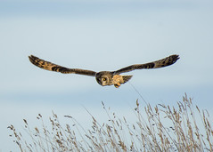 short eared owl (Yvonne Alderson) Tags: seo owl shorteared flight hunt daytime