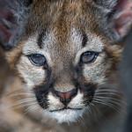 Puma cub very close thumbnail