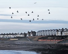 Feral Pigeons Over Newbiggin Beach (Gilli8888) Tags: nikon p900 coolpix northumberland newbigginbythesea newbiggin northsea beach sand coast coastal shore seaside seascape sun dawn sea water marine birds seabirds pigeons feral feralpigeons houses buildings bay birdsinflight