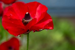 Garden Andrews G9 Poppy AND_7384.jpg (st peters gardens armidale) Tags: 2018 plants australia gardenweekend towngarden nsw garden newengland urallashire eudicot stpeters events papaversomniferum places flowering church nature papaveraceae magnoliophyta weather phanerogamae magnolopsida plant uralla macro flora leecerd northerntablelands plantae papaver gardenweekendflickr poppy ranunculales rain angiospermae dicot