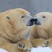 Mother and child / 親子の時間 (yanoks48) Tags: polarbear ホッキョクグマ zoo 動物園 maruyamazoo 円山動物園 sapporo 札幌 hokkaido 北海道 japan 日本 bear クマ animal 動物