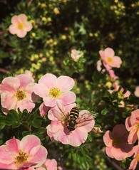 Hover fly (jessalynn_sammons) Tags: iphone nature flower garden fly insect
