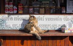 Thailand-5166 (Andy Kaye) Tags: thailand siam chiang rai thai asia east northern cat gat kitten gato