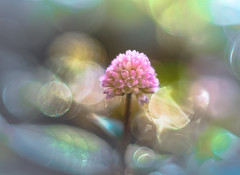 basking in the sun (Tomo M) Tags: persicariacapitata ヒメツルソバ weed wildgrasses bright light bokeh nature garden helios pink