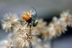 Mabel Orchard Orb-Weaver (Anna Peterson) Tags: spider orbweaver vivitar55f28macro pentax pentaxk3 manualfocus fully