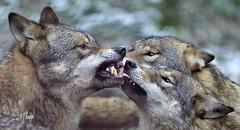 Wolfs Unterhaltung im Winter (hansjrgenknppel) Tags: wolfs unterhaltung im winter entertainment nikon d 600 germany deutschland hansjuergen knueppel nikkor 300mm