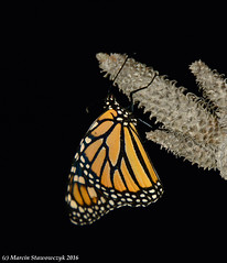 Long after sunset (v4vodka) Tags: monarch monarchbutterfly motyl motylek milkweed commontiger wanderer blackveinedbrown danausplexippus monarchfalter amerikanischemonarch monarcha 君主斑蝶 insect butterfly