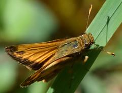 male zabulon skipper (ophis) Tags: lepidoptera papilionoidea hesperiidae hesperiinae hesperiini poanes poaneszabulon zabulonskipper