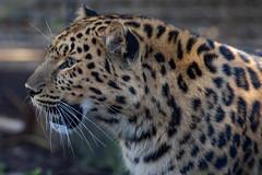 Amur Leopard adult female (Bob Worthington Photography) Tags: zoo122918 sandiegozoo canon7dmarkii canon70200f28lisii