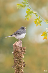 ''Perchoir!'' Junco ardoisé (pascaleforest) Tags: oiseau bird animal passion nature nikon wild wildlife faune québec canada automne