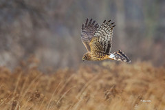 Nothern Harrier (Mike Veltri) Tags: hunting flight northern harrier birds avian wild nature ontario canada
