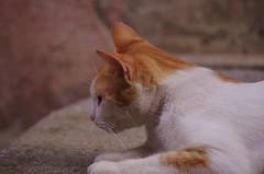 95 - Ardèche - Vogüé une chatte orange (paspog) Tags: france ardèche vogüé août august 2018 vhat chatte cat katze chatteorange orangecat