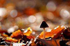 Herfst in het Staelduinse Bos (R. Engelsman) Tags: fungi fungus fungo mushroom champignon pilze paddenstoel paddestoel forest nature natuur autumn herfst herbst macro staelduinsebos netherlands nederland nl sigma 105mm bokeh