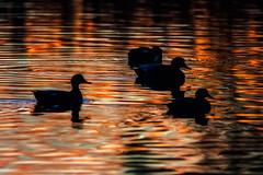 colors of sundown (pstrock1) Tags: sky morning goldenhour wild wildlife nature bird water beauty marsh duck wings field