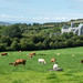 Cows and Old Building. Wild Atlantic Cycling Tour Day 3