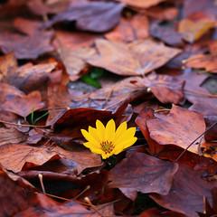Yellowing (Robyn Hooz) Tags: topinambur casa padova fiore bellezza foglie leaves giallo yellow details veneto mytown