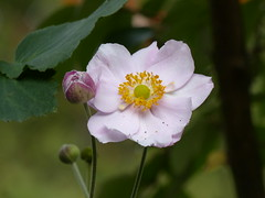 Delicate Anemone (Marit Buelens) Tags: plant flower pink green anemone anemoon japanseanemoon japaneseanemone belgium flanders anemoneae bud garden macro