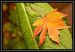 """Gold on Green..."" (NikonShutterBug1) Tags: nikond7100 tokina100mm nature wildlife bokeh spe smartphotoeditor closeup macro leaf autumn 2dwf leaves"