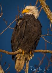 Early Light on Eagle (~ Bob ~) Tags: americanbaldeagle baldeagle nikon eliteraptors amazing nature bird birdofprey britishcolumbia canada feisol raptor d500 wildlife