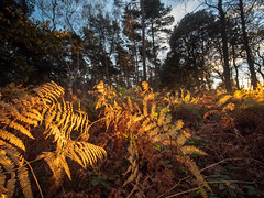 20181129-P1115280.jpg (colemanr20) Tags: woodland autumn sheringhampark sunset fern bracken afternoonsun