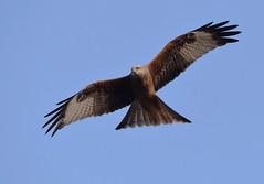 DSC_2270 Red Kite (PeaTJay) Tags: nikond750 tamron reading lowerearley berkshire outdoors nature birds birdsofprey redkite