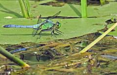 Dragonfly - Libellule (P9_DSCN8986-1PE-20180810) (Michel Sansfacon) Tags: dragonfly libellule nikoncoolpixp900 parcnationaldesîlesdeboucherville parcsquébec faune