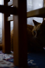 Cats notice everything (chragrotto) Tags: cats red cat redcat feline gatto home animals pets animal pet