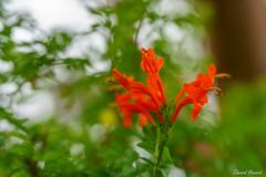 Happy Wednesday Everyone (edzwa) Tags: sydney newsouthwales australia au flowers flower sonya7riii sony sigma sigma50mm14art 50mm bokehlicious bokeh closeup garden
