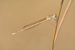 Sympecma fusca (jotneb) Tags: natureza animais libelinhas insectos odonata vidaselvagem arlivre escaroupim selvagem sympecmafusca nikon sigma salvaterra