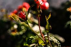 Macro (ameliapardo) Tags: macro macrodeflores rojo fujixt2 jardines macrodefloresyplantas naturaleza sevilla andalucía españa