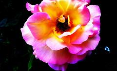 "Z albumu ""Róże"" (andrzejskałuba) Tags: poland polska pieszyce dolnyśląsk silesia sudety europe panasonicdmcfz200 lumix plant roślina kwiat flower różowy rose róża pink zieleń green garden ogród natura nature natural natureshot natureworld macro color beautiful flora floral 100v10f 1000v40f 1500v60f"