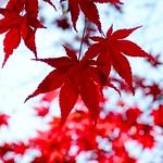 Red Leaves in Bokeh thumbnail