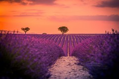 Before night (icemanphotos) Tags: perfect lavender field meadow inspire summer flowers countryside scented tree violet flower nature natural harvest vibrant blossom herbal mediterranean fragrance provencealpescote purple colorful landscape sunset plant blooming aromatherapy blue sky floral alpesdehauteprovence beautiful alone bloom agriculture color valensole rural perfume provence plateau europe herb french lonely lines scent france row lavande fragrant