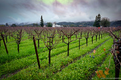 """Vineyards in the Rain (tom911r7) Tags: """"winecountry """"napavalley"""" napa clouds """"travelphotography"""" grapes vineyard wine travel landscape """"tombrichta"""""""
