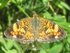 Phyciodes tharos (pearl crescent), female (tigerbeatlefreak) Tags: phyciodes tharos pearl crescent insect butterfly lepidoptera nymphalidae nebraska