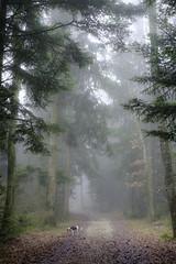mistic forest (Marco - MB Photography) Tags: misticforest mistyforest mist fog nebbia brume brouillard nebel woods bois foret foresta pinetree pineneedle doginforest pathinforest fujifilmxt2 fujinonebcxf35mmf14r mamuangsuk