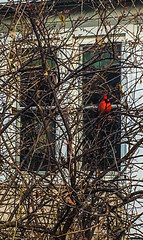A Lone Cardinal Series (vickieklinkhammer) Tags: bird nest tree branch beak winter outdoor red cardinal outdoors sitting noperson standing nature twig food plant wood birdnest light environment daylight one colorful birdfeeder season wooden concrete color wall perched brown white house home windows porch afternoon photography photographer photo image outside siding alone loner feet flight picturesque day
