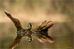 Reflection of a Tit (Gertj123) Tags: bird bokeh brown netherlands nature animal avian arjantroost water spring sigma120300mmf28 canon reflection