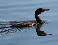 Phalacrocoracidae is a family of approximately 40 species of aquatic birds commonly known as cormorants and shags (im2fast4u2c) Tags: phalacrocoracidae is family approximately 40 species aquatic birds commonly known cormorants shags