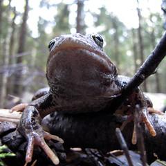 Царь, просто царь! (Yuriy Kuzmenok) Tags: природа лягушка макро