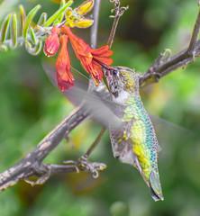 Ending soon. (Omygodtom) Tags: wildlife outside red annashummingbird flower flickr natural nature flora flickriver bird bokeh dof usgs nova