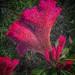Toronto Ontario - Canada  - Edwards Garden -  Botanical Gardens -  Cockscomb Flower - Texture