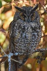 Long-eared Beauty (Snixy_85) Tags: owl longearedowl asiootus