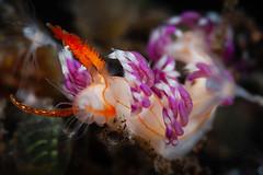 Facelina sp. nudi feeding (Luko GR) Tags: indonesia bali tulamben critters macro diving underwater seaslugs nudibranchs facelinidae polyp eating